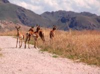 antelope-running-free-and-eating-grass