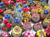 Bed of Cacti
