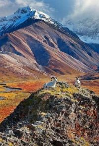 Alaskian Mountain Goats