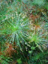 dandylion dew