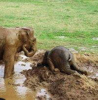 When upset, baby elephants throw themselves into the mud like a child having a temper tantrum.