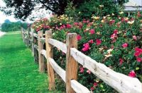 Roses Behind The Fence
