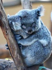Koala mom with baby