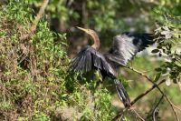 Anhinga bird