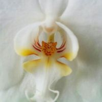 Orchid-Tiger Orchid