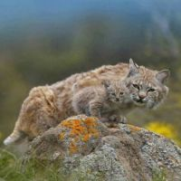 bobcat and its little bobkitten