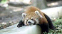 Keeping Cool - Red Panda on Ice