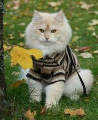 White Cat Wearing Sweater