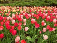 Tulip Festival - Ottawa