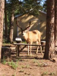 Beautiful Buck with velvet horns, CO