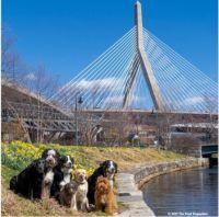 Boston Dogs 1
