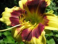 New daylily