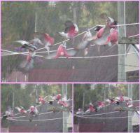 Galah Bird-bath :)))))