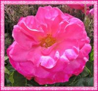 Looking Good Rose.
