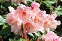 peach rhododendron