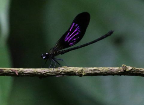Damselfly in Indonesia