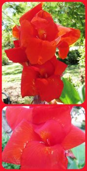 My Red Canna.