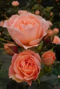 Hybrid Tea Rose.  Orange.