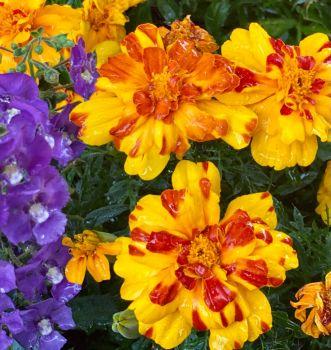 The rain makes the marigolds look glazed