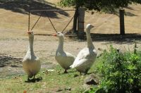Geese at Shepards Flat