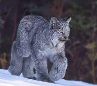 Canadian Pussycat