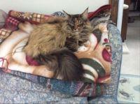 Mollie a Maine Coon cat.