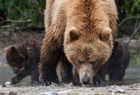 2  ~  'Grizzly mom fishing with her twin cubs'  (1/2)