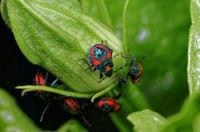Baby Harlequin beetles ..