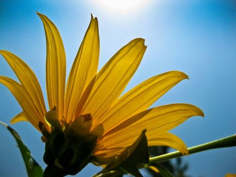 Sunflower, good morning