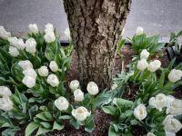 White Tulips, NYC
