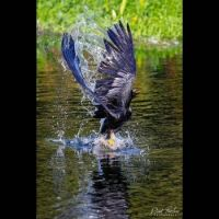 Anhinga ready for takeoff.
