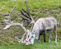 Reindeer in the Swedish mountains
