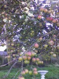 Apples on tree Oct. 7. 18