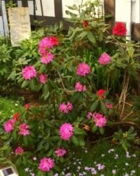 Rhododendrons - two shades of pink