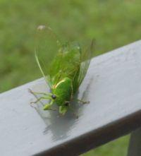 Green Grocer Cicada..