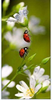 Berušky_Ladybugs