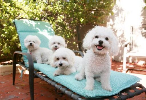 Some happy Bichon Frise's..