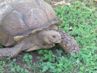 Cal the African Tortoise