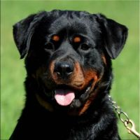 Rottweiler Female-Wallie-(1)