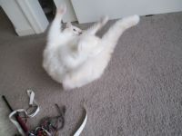 Cotton is so worked up over her toy she is a blur!