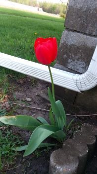Red tulip in a weird place