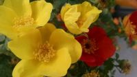 Red-Orange and Yellow on the same rose bush!
