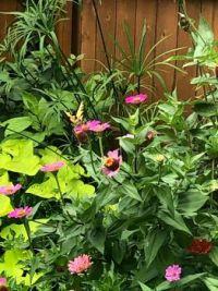 butterfly on zinnias
