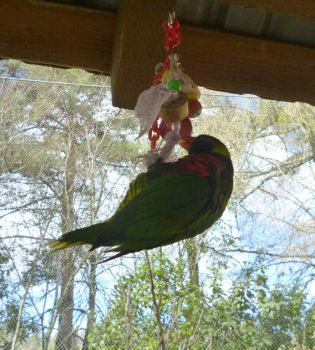 lorikeet playing with toy