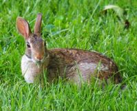 Bunny in Front Yard