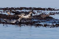 Seals on Treshnish Isles