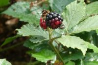 Blackberry. Although one of the two was ripe, I decided to leave it to the insects on it!!