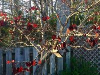 Tree with Heart-Shaped Leaves