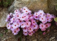 Asters, Astry