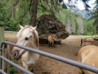 THEME: Horses--Stehekin, Lake Chelan, Norwegian Fjord horses #4